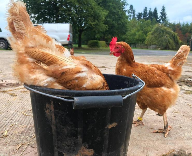 Hen eating from bucket