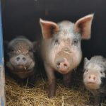 Social structurePigs are social animals, preferring to live in female-led groups. Young males (boars) will leave this group and join another when it is time to mate.