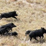 Natural habitatNative to Central Europe. Wild boar can live in many habitats but prefer deciduous forests.