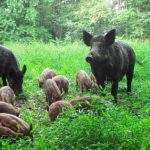 DietPigs are omnivorous and will literally eat anything! Their diet is mostly made up of nuts, berries, leaves, roots, and even some meat.