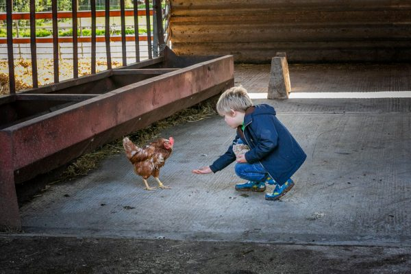 A young boy reaches out to a hen