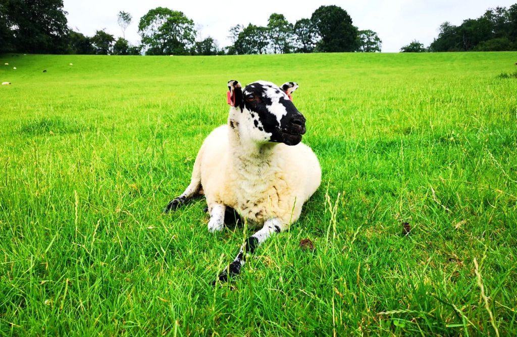 A sheep lying in a field