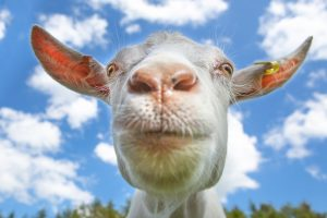 A close-up photo of a white goat against a blue sky