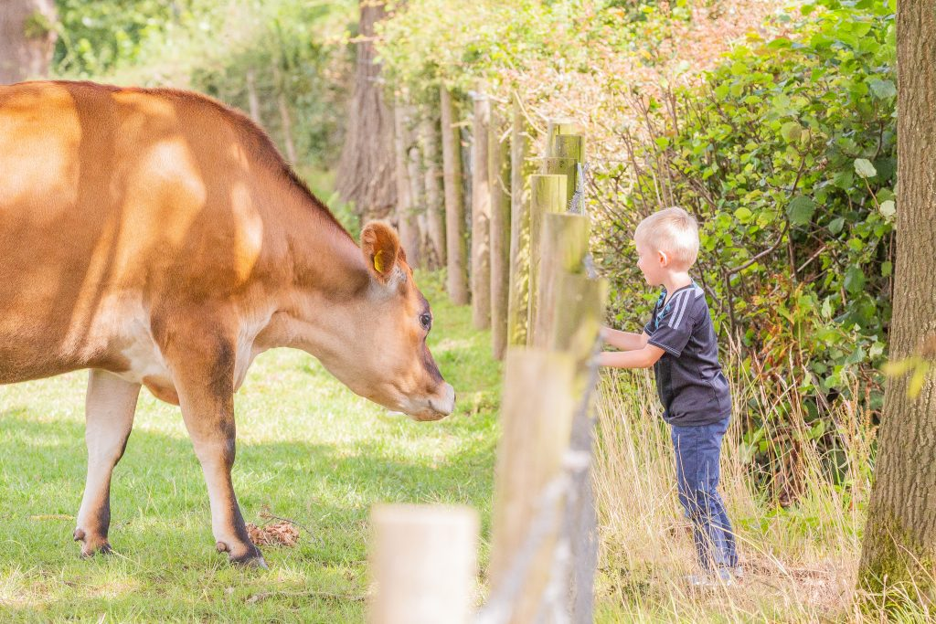 A young boy interacts with a rescued cow