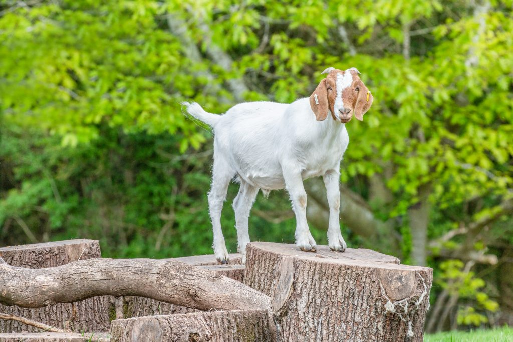 A brown a white goat stands atop a log climbing structure