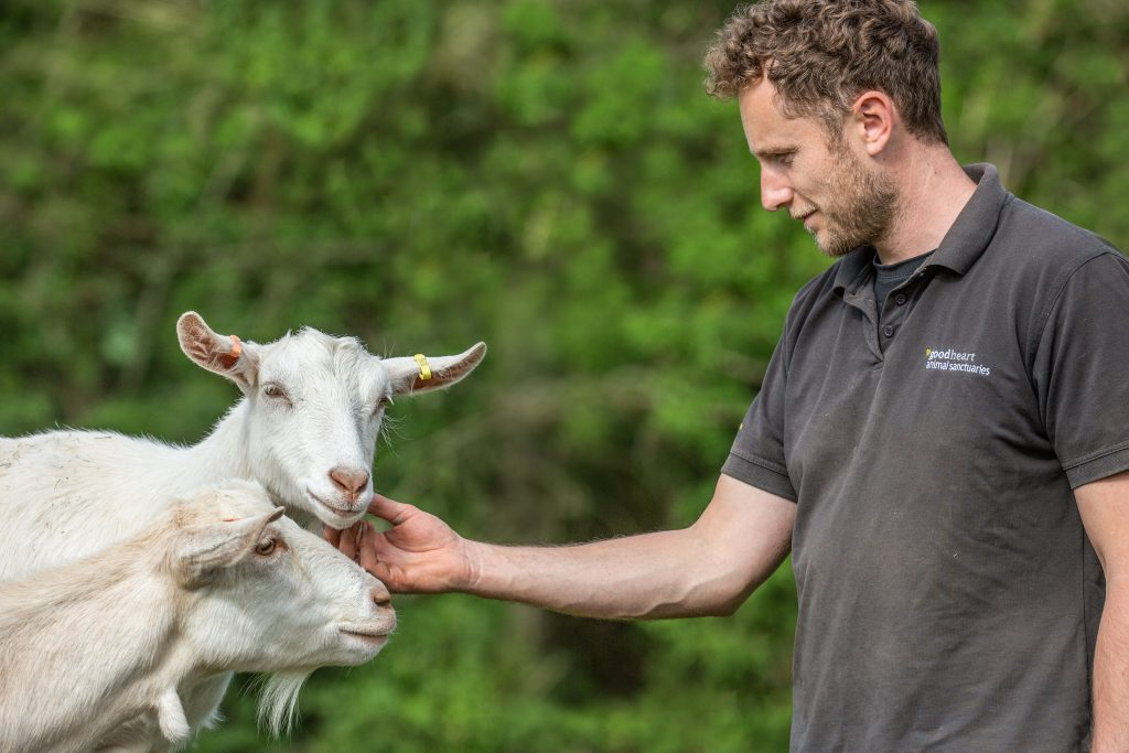 Sanctuary Manager Dave strokes two white goats