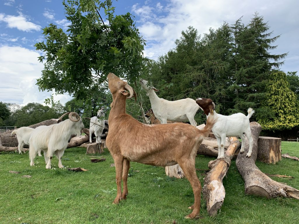 Our herd of rescued goats