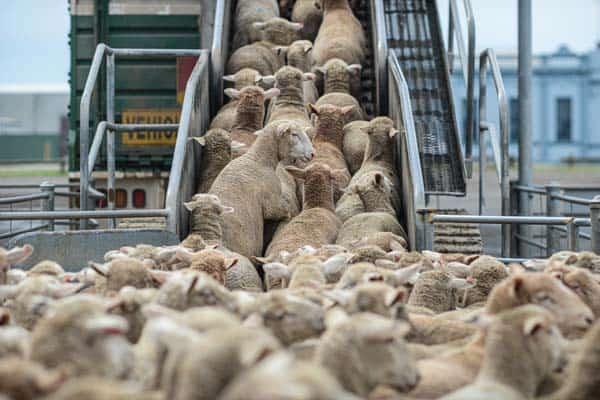 Animal exports sheep loaded onto lorry