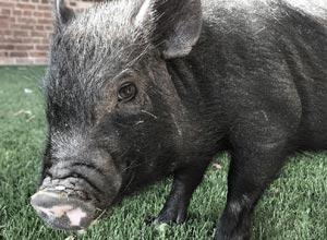 Bertie the rescued baby pig