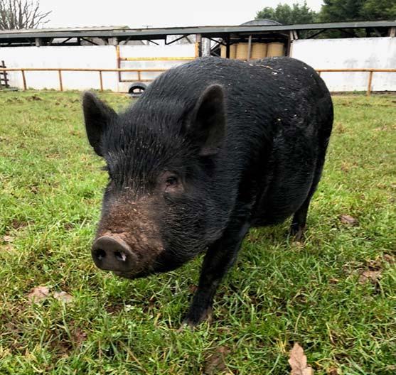 Bertie the pig