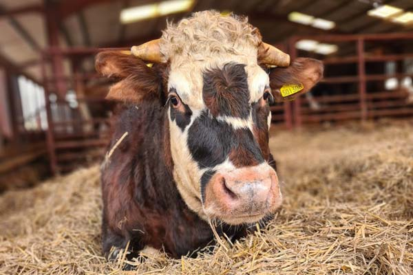 Adopt a rescued cow