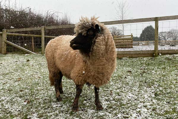 Mindy the rescued ewe