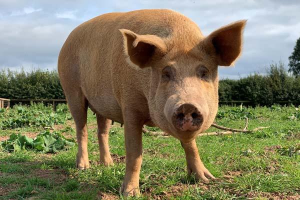 Sponsor a pig today