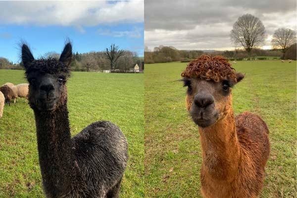 Rescued alpacas at Goodheart Farm Animal Sanctuary