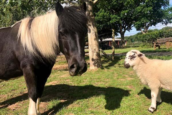 Shetland pony Twinkle and lamb Bob