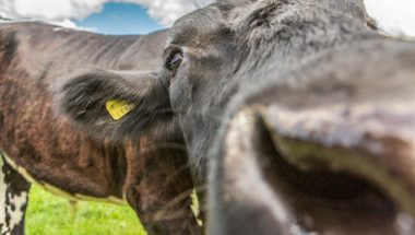 Cow-web-banner-2