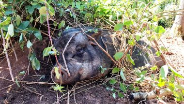 A small black pig sleeps under leafy branches