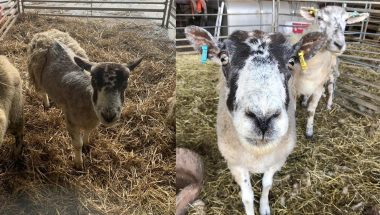 Kent sheep before and after