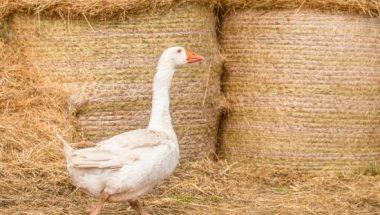 A goose explores a hay barn