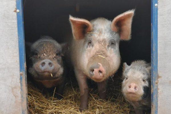 PigFamily