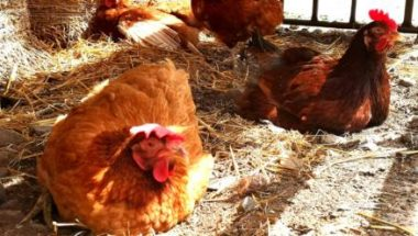 A hen relaxing in shade