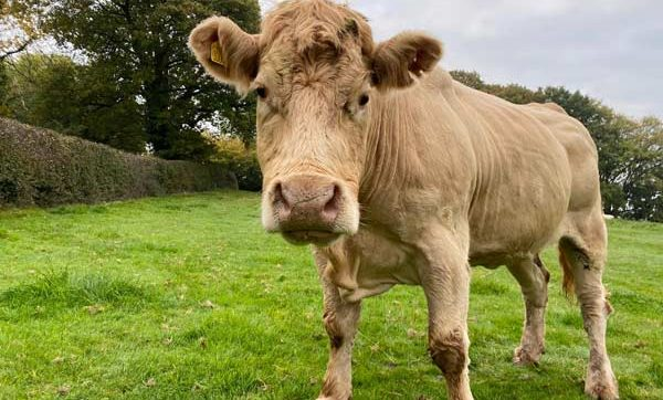 Sponsor a cow
