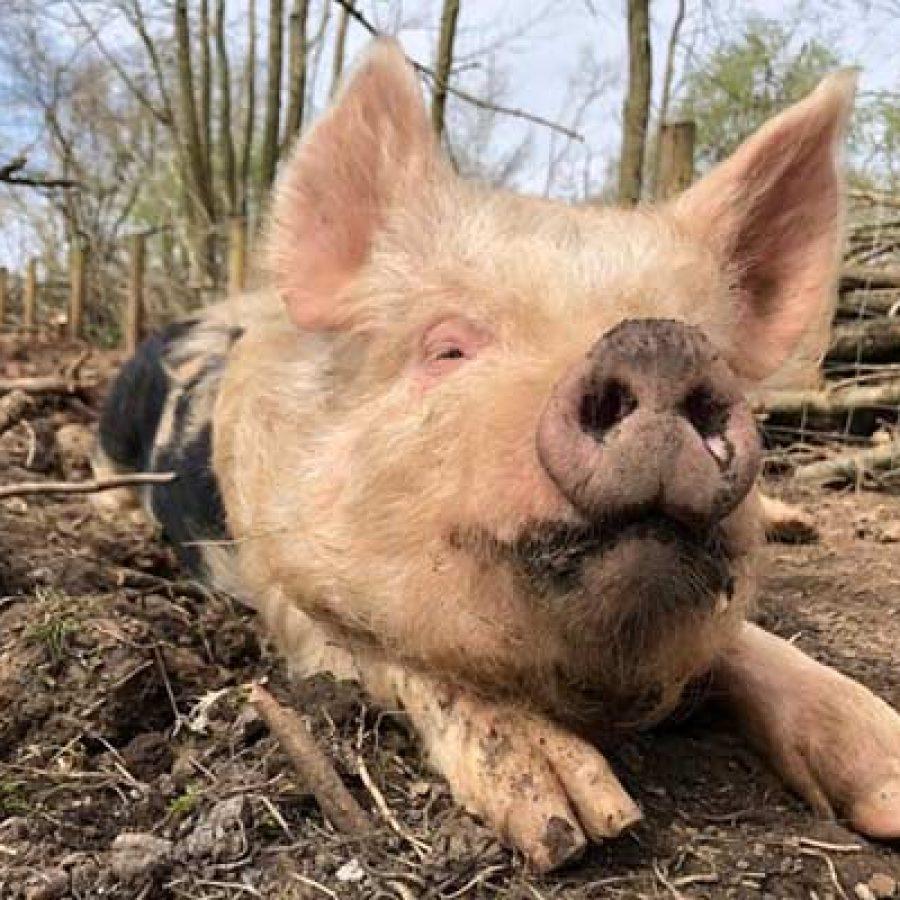 Rescued piglet Clove at Goodheart Animal Sanctuaries
